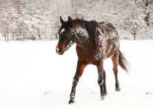 Dark bay horse covered in snow Royalty Free Stock Photos