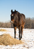 Dark bay horse eating his hay in a snowy pasture Stock Photo