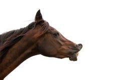Dark bay horse exhibiting Flehmen response Stock Image