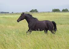 A dark-bay horse galloping Royalty Free Stock Image