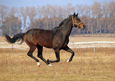 A  dark-bay horse galloping Royalty Free Stock Photography