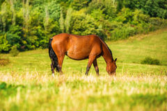 Dark bay horse grazing on a field Royalty Free Stock Photography