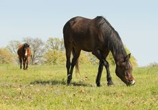 Bay horse grazing on a green spring pasture Royalty Free Stock Images