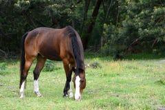 Dark bay horse grazing on pasture Stock Image