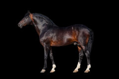 Dark bay horse Royalty Free Stock Image