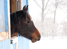 Dark bay horse looking out from a barn Royalty Free Stock Image