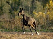 Dark bay horse runs in paddock Royalty Free Stock Photography