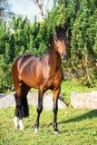 Dark bay sportive welsh pony stallion posing against pine trees.  stock photo