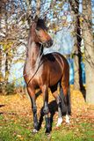 Dark bay sportive welsh pony stallion posing near autumn trees royalty free stock photos