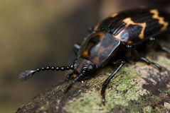 Dark Beetle macro Royalty Free Stock Images