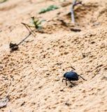 Dark beetle Stock Image