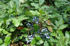 Dark berries of Oregon grape. Dark bluish black berries of Oregon grape royalty free stock photo