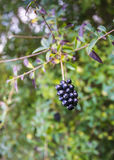 Dark berries on a twig Royalty Free Stock Photos