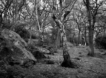 Dark birch forest clearing. With large boulders in monochrome royalty free stock photography