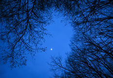 Dark birch wood Royalty Free Stock Photography