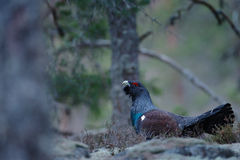 Dark bird Western Capercaillie, Tetrao urogallus, on the moss stone in pine tree forest, nature habitat, Sweden Stock Photography