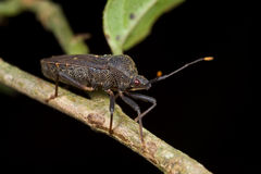 A dark/blackish plant bug/mirid bug Royalty Free Stock Photos