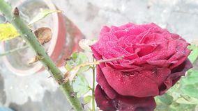 Dark blood red colored rose Royalty Free Stock Photos