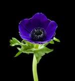 Dark blue Anemone. Isolated on black royalty free stock photos