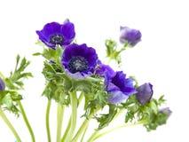 Dark blue Anemone Royalty Free Stock Photos