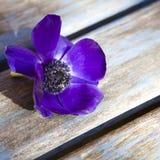 Dark blue Anemone on blue table Stock Photo