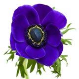 Dark blue anemone stock photos
