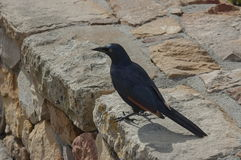 Dark blue bird at stone wall by Cape of good hope Stock Images