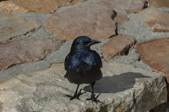 Dark blue bird at stone wall by Cape of good hope Stock Photography