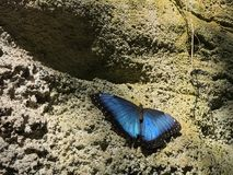 A Dark Blue and Black Morpho Butterfly Resting on Rock wall. A Butterfly resting on a wall of rock. The butterfly is a type of Morpho butterfly. It has shades of Stock Images
