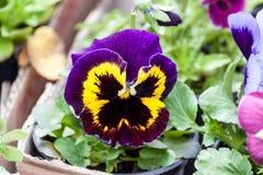 Dark Blue, black and yellow Viola flower Stock Photos