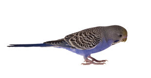 Dark blue budgerigar isolated on white Royalty Free Stock Photography