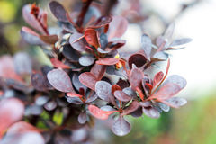 Dark blue and burgundy leaves of a barberry berry Royalty Free Stock Photography