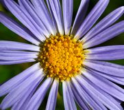 Dark blue camomile Royalty Free Stock Photos