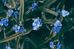 Dark blue color flowers background with pale green leaves. Dark blue color flowers background with pale green long leaves royalty free stock images