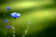 Dark blue cornflower Stock Photos