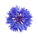 dark blue cornflower Royalty Free Stock Images