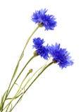 dark blue cornflower royalty free stock photos