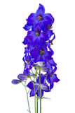 Dark blue delphiniums Royalty Free Stock Image