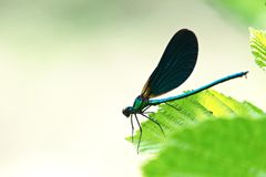 Dark blue dragonfly on green leaf of hazel closeup Stock Photos