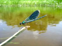 Dark blue dragonfly sitting above water Stock Photos