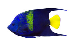Dark blue fish with green strip and yellow fin Royalty Free Stock Images