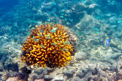 Dark blue fishes against a yellow coral Royalty Free Stock Photos