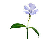 Dark blue flower Royalty Free Stock Image