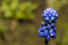 Dark blue flower of Muscari Royalty Free Stock Photos