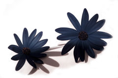 Dark blue flowers. Two dark blue flowers isolated on a white background Stock Photos