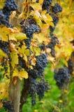 Dark blue grapes Stock Image