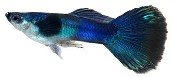 Dark blue guppy fish. Poecilia reticulata Royalty Free Stock Images