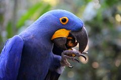 Dark blue Hyacinth Macaw at lunchtime stock image
