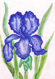 Dark blue iris, painting Royalty Free Stock Images