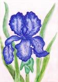 Dark blue iris, painting Royalty Free Stock Images